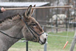 Frase de motivação para emagrecer | Foto de um burro com uma cenoura na frente